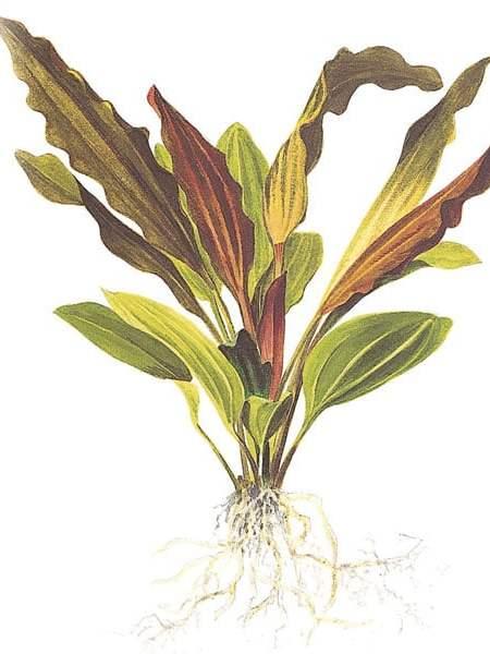 Echinodorus 'Rosé' XL - buy tropical aquarium plants online