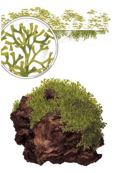 Image of Riccia Fluitans aquatic plant as used by Takashi Amano