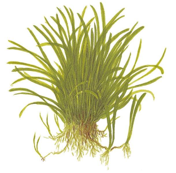 Image of Lilaeopsis brasiliensis - buy Nature Aquarium Plants online