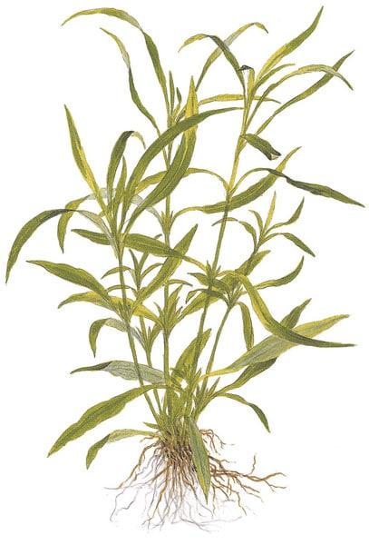 Hygrophila corymbosa 'Angustifolia' - buy Nature Aquarium Plants