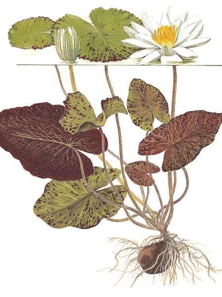 Image of Nymphaea lotus (zenkeri) tropical aquatic plant