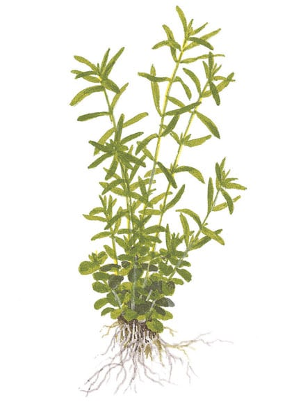 Rotala sp.'green' - buy tropical aquatic plants online