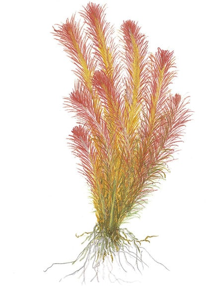 Rotala wallichii tropical aquatic plant photograph