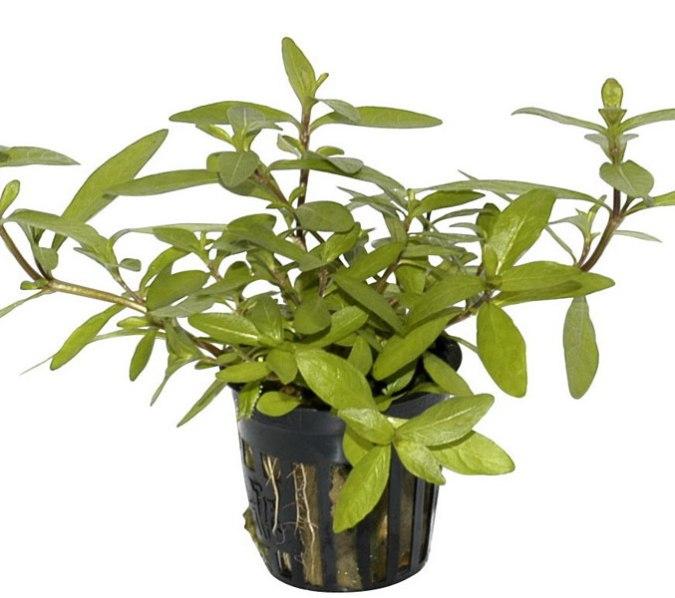 Image of Hygrophila polysperma - buy Nature Aquarium Plants