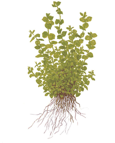 Image of Micranthemum umbrosum - buy Nature Aquarium Plant