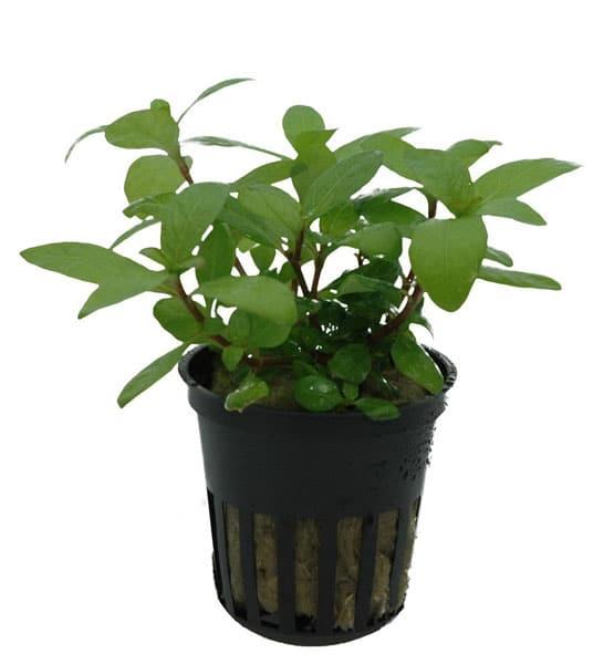 Staurogyne repens aquatic plant