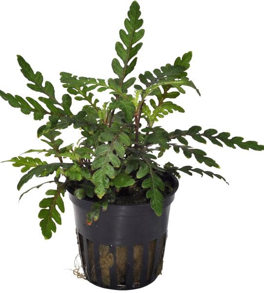 Hygrophila pinnatifida - buy Nature Aquarium Plants