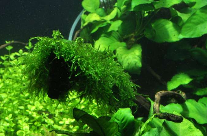 Vesicularia ferriei 'Weeping' moss image