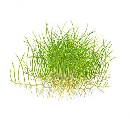 Tropica 1-2-Grow Eleocharis sp. 'mini' - aquatic plant shop