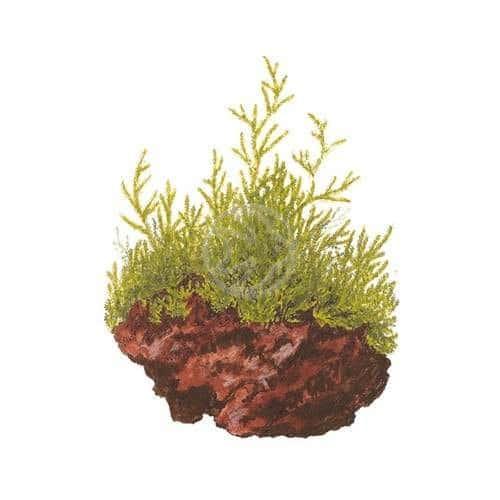 Tropica 1-2-Grow Taxiphyllum sp. Flame - buy tropical aquatic aquarium plants