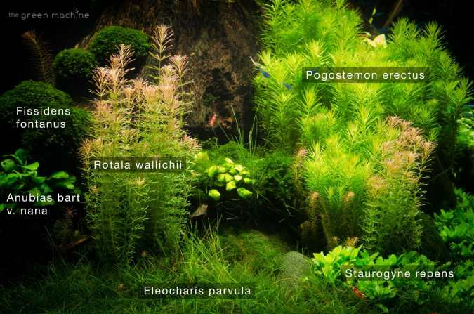 Rotala wallichii tropical aquatic plant photograph in Nature's Chaos aquascape