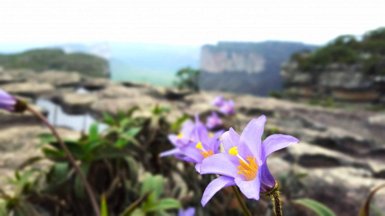 flower chapada diamantina brazil