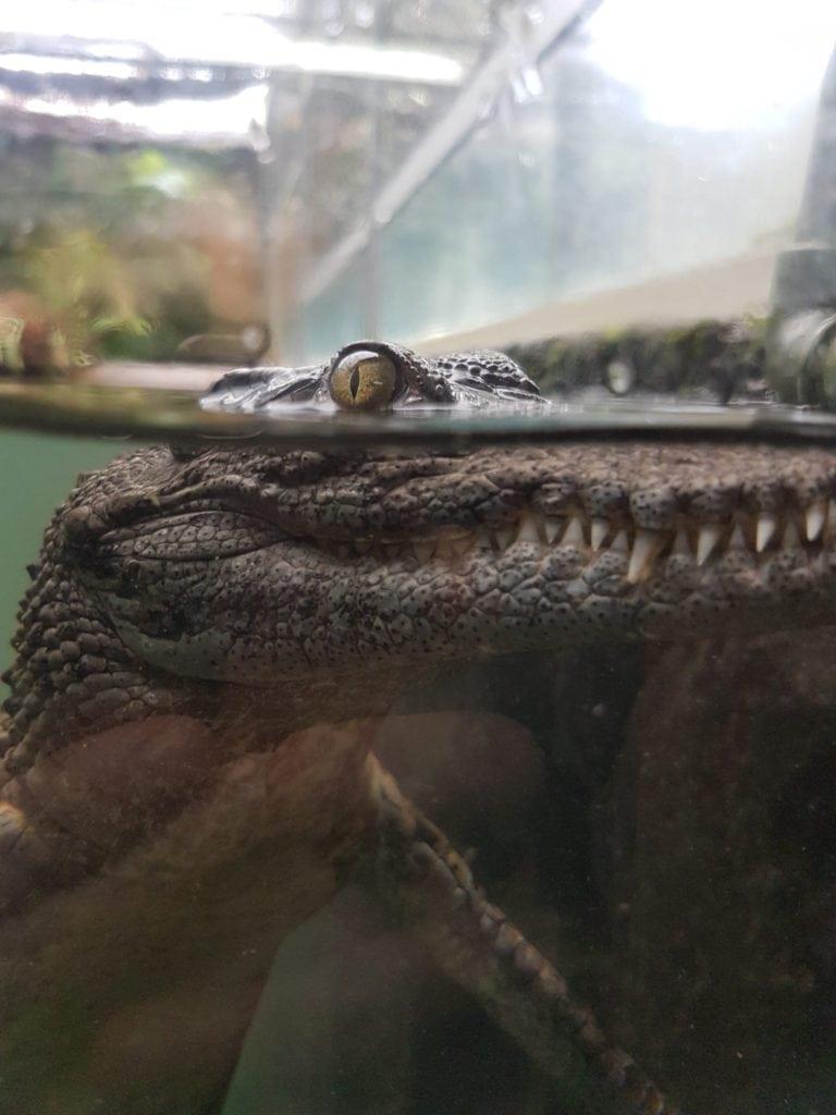Crocodile du parc Vanille a l'ile maurice