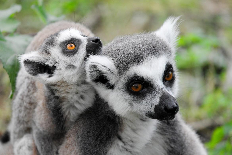 madagacar lemurien destination de printemps