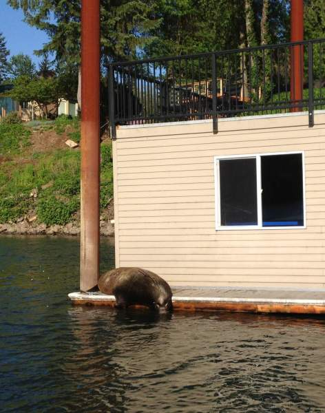 Bill Monroe: Monroe talks sea lions, springers and non-concurrence on Columbia River Policy