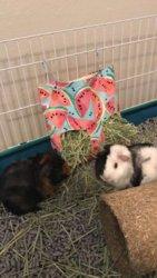 best hay rack set up the guinea pig forum