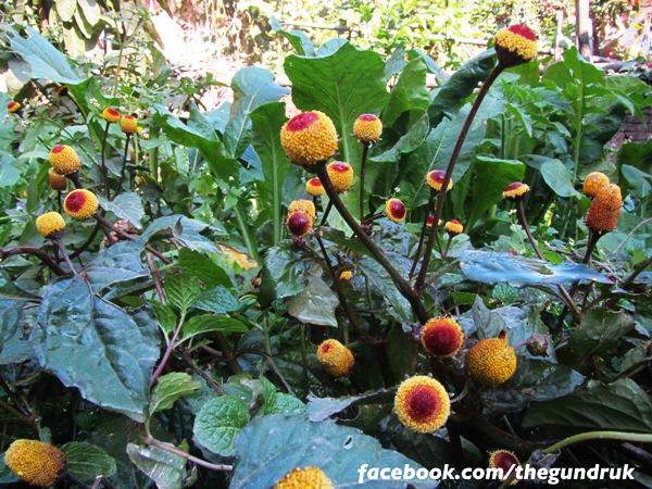 Szechuan button plant
