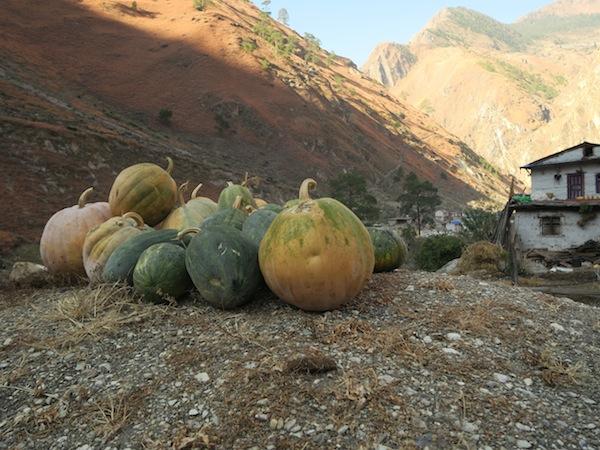 pumpkin in Dolpo