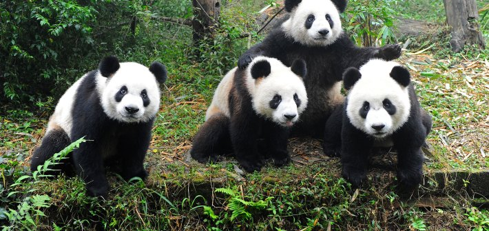 A mulatto of Pandas