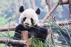 Pandas: A New Story at Omniversum