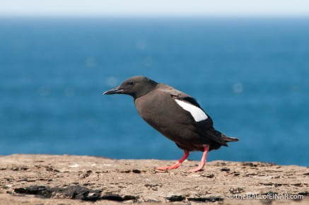 Black Guillemots on Westray - photograph (c) 2016 David Bailey (not the)