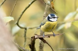 Blue Tit - The Hall of Einar - photograph (c) 2016 David Bailey (not the)