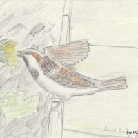 House Sparrow - forty years ago in my nature notebooks