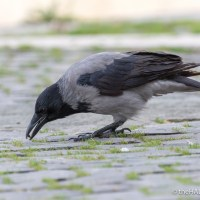 Hooded Crow - forty years ago in my nature notebooks