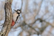 Female Great Spotted Woodpecker - The Hall of Einar 3