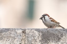 Italian Sparrow - The Hall of Einar - photograph (c) David Bailey (not the)