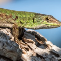 Italian Wall Lizard sunbathing in April
