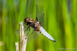 Male Broad Bodied Chaser - The Hall of Einar - photograph (c) David Bailey (not the)