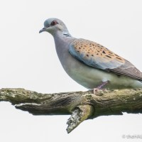 A Turtle Dove purring like a cat