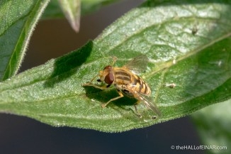 Parhelophilus Hoverfly - The Hall of Einar - photograph (c) David Bailey (not the)
