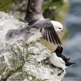 Razorbill - The Hall of Einar - photograph (c) David Bailey (not the)