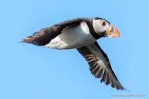 Flying Puffins - The Hall of Einar - photograph (c) David Bailey (not the)