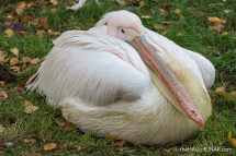 Pelican - The Hall of Einar - photograph (c) David Bailey (not the)