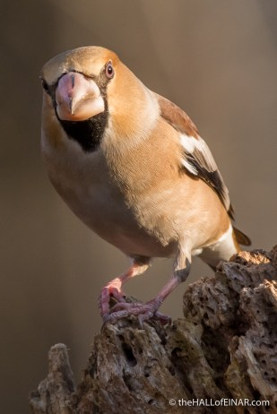 Hawfinch - The Hall of Einar - photograph (c) David Bailey (not the)