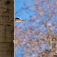 Heron on the Tiber