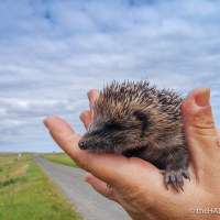 Rescuing a thirsty Hedgehog