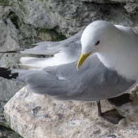 Declining Kittiwakes
