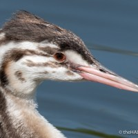 Juvenile Great Crested Grebe portraits