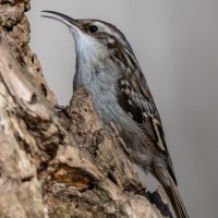 Short-Toed Treecreepers and reflections on bird photography