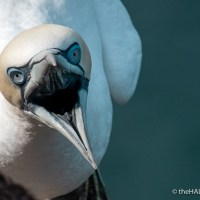 Bempton birds - violence and aggression