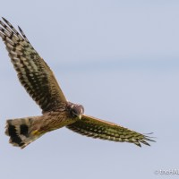 What's better than seeing a Hen Harrier?