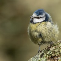 Fluffy Blue Tit