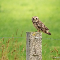 The Short-Eared Owl makes another appearance