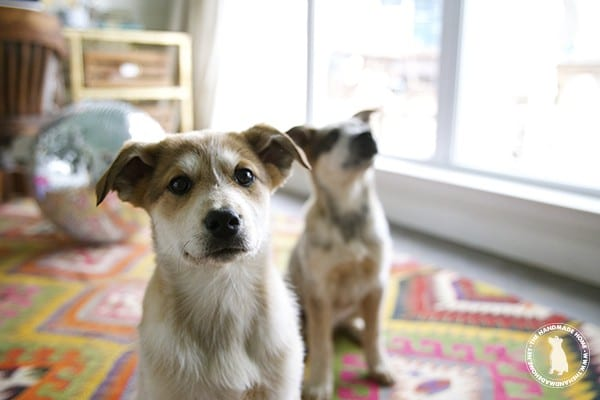 puppies_great_red_pyraheelers