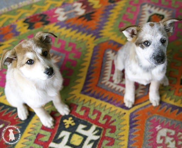 rigby_and_fitz_red_heeler_pyranese_pups