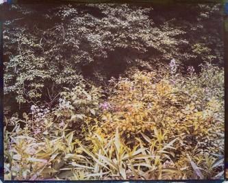 Jodie Hooker (Sacramento, CA) Wild Garden 6 Gum dichromate over cyanotype